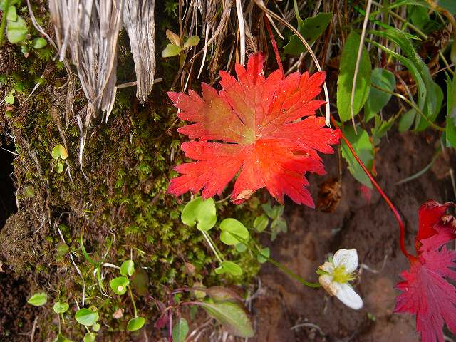 8月30日富良野岳の花1_f0138096_12332045.jpg