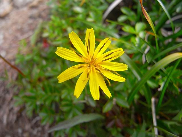 富良野岳の花2_f0138096_12375879.jpg