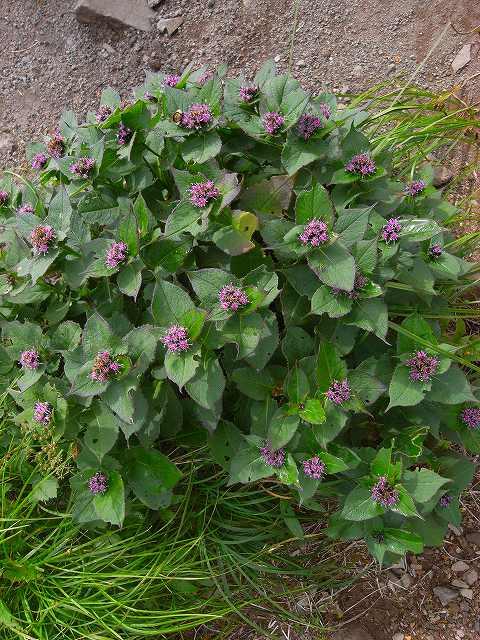 富良野岳の花2_f0138096_12383637.jpg