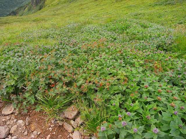富良野岳の花他_f0138096_12422024.jpg