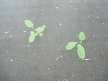 昨日と今日の畑にて_e0097534_20202012.jpg