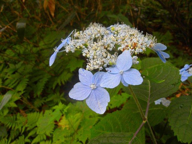 8月31日、芦別岳で見た花など_f0138096_1022587.jpg