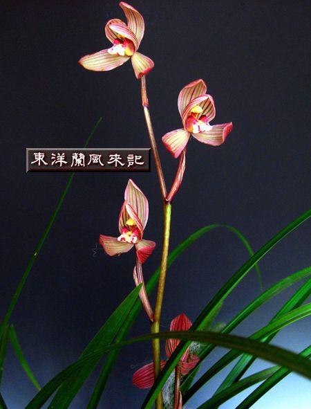 ◆中国蘭・奥地蘭・蓮弁蘭「天宝紅荷」     No.91_d0103457_14414469.jpg