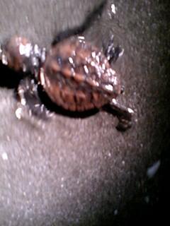 9月5日(水)アカウミガメの赤ちゃん&JICA柘植香織さん_e0006772_23341134.jpg