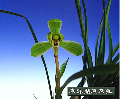 ◆東洋蘭中国春蘭「逸品」             No.93_d0103457_1412143.jpg
