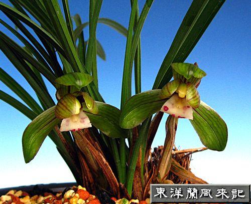 ◆東洋蘭・中国春蘭「憲荷」             No.95_d0103457_1434441.jpg
