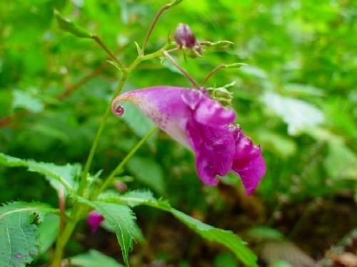 高山植物レビュー(2005年:山で出会った花々)_c0119160_1414868.jpg