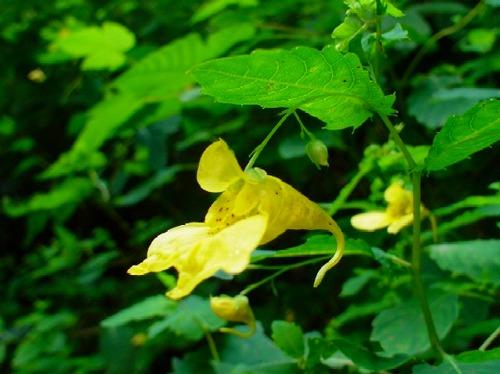 高山植物レビュー(2005年:山で出会った花々)_c0119160_14161491.jpg