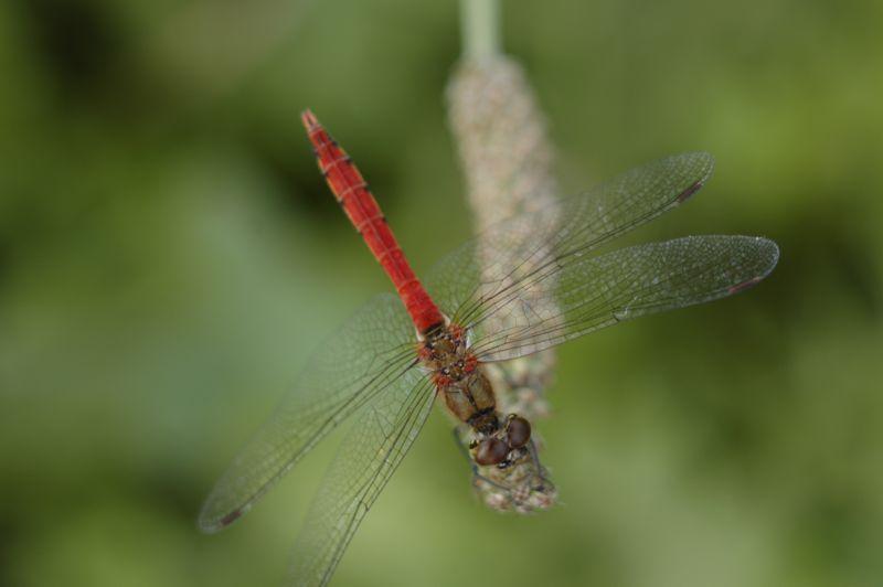 赤蜻蛉2_f0042194_21195117.jpg