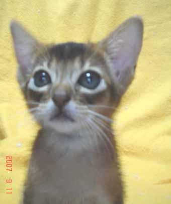 アビシニアンの子猫_e0033609_19543654.jpg