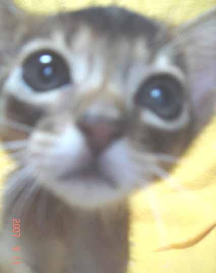 アビシニアンの子猫_e0033609_1955265.jpg