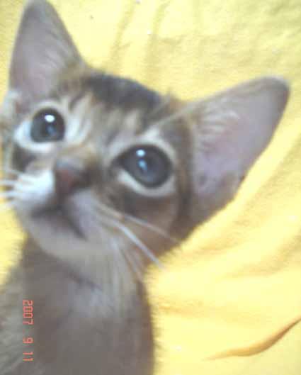 アビシニアンの子猫_e0033609_19562793.jpg