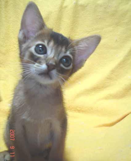 アビシニアンの子猫_e0033609_19565399.jpg
