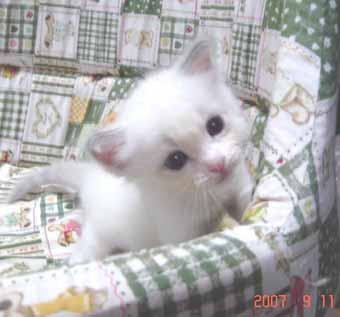 ラグドールの子猫 男の子_e0033609_2054812.jpg