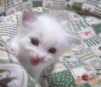 ラグドールの子猫 男の子_e0033609_2062197.jpg