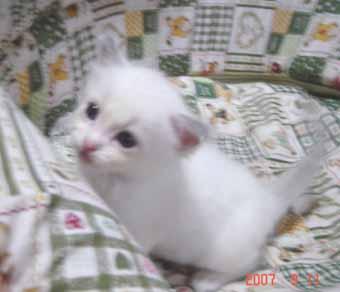 ラグドールの子猫 男の子_e0033609_2064599.jpg