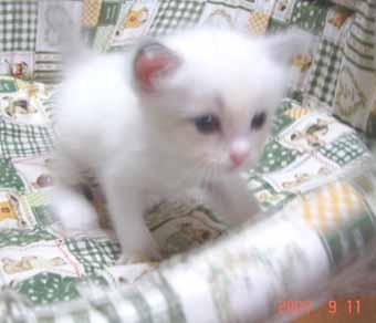 ラグドールの子猫 男の子_e0033609_2071274.jpg