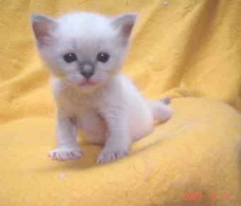ラグドールの子猫 男の子_e0033609_2083170.jpg