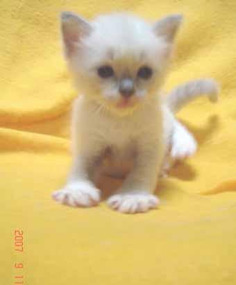ラグドールの子猫 男の子_e0033609_2085597.jpg