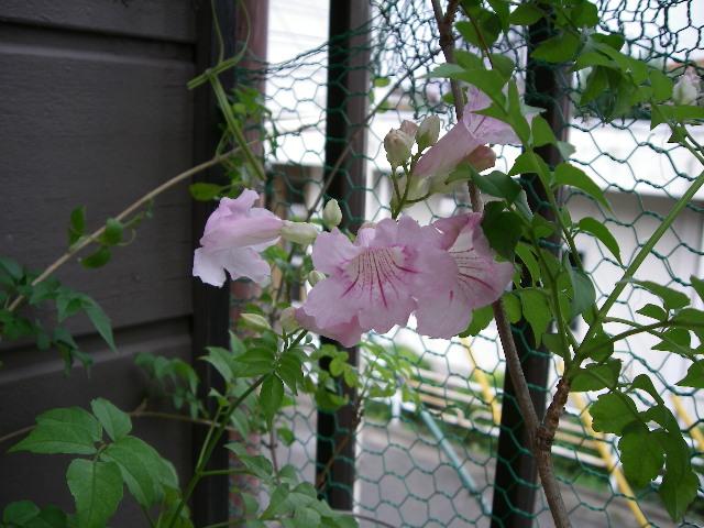 ベランダにある木に花が咲いた_d0116059_2220249.jpg