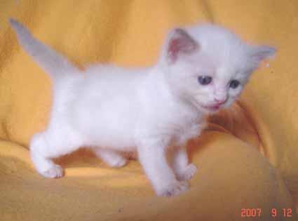 ラグドールの子猫 男の子_e0033609_1838392.jpg