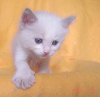 ラグドールの子猫 男の子_e0033609_1839356.jpg