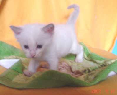 ラグドールの子猫 男の子_e0033609_18403057.jpg