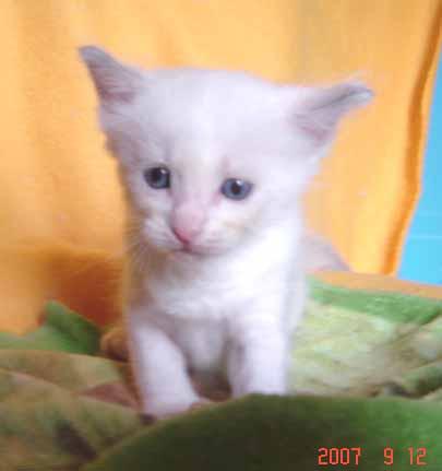 ラグドールの子猫 男の子_e0033609_18405431.jpg