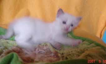 ラグドールの子猫 男の子_e0033609_1840712.jpg