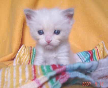 ラグドールの子猫 男の子_e0033609_1841568.jpg
