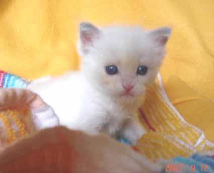 ラグドールの子猫 男の子_e0033609_18422081.jpg