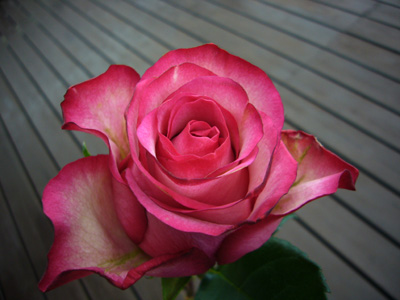 薔薇---カロッセル_f0105054_1955262.jpg