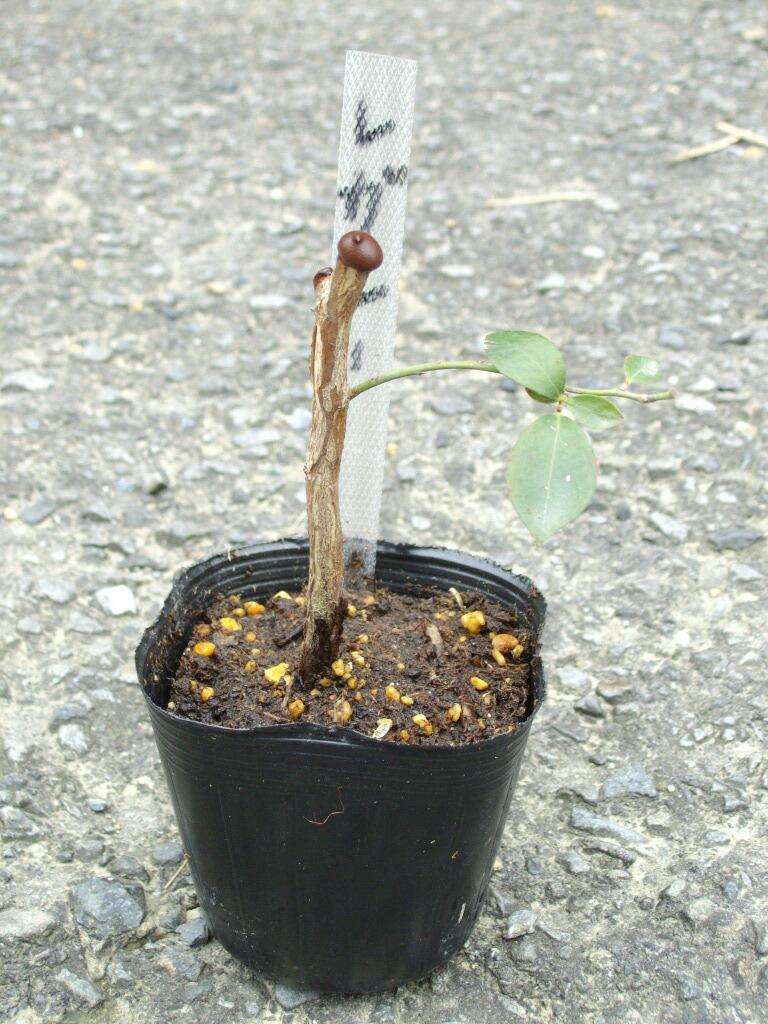 ブルーベリーの取り木の発根(レガシー_f0018078_14181318.jpg
