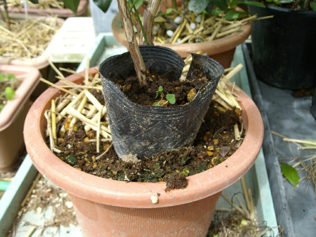 ブルーベリーの取り木の発根(レガシー_f0018078_1493640.jpg