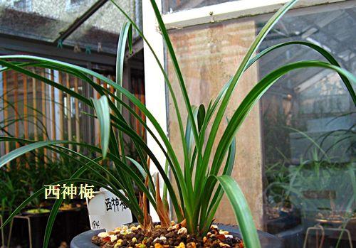 ◆中国春蘭「西神梅」                No.101_d0103457_0441642.jpg