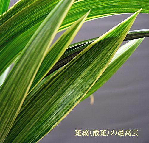 ◆恵蘭(蕙蘭)「旭晃の総斑縞」          No.102_d0103457_14165512.jpg