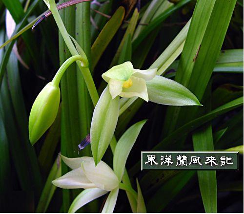 ◆中国蘭・秋の素心蘭6弁奇花「七仙女」    No.104   _d0103457_23553940.jpg