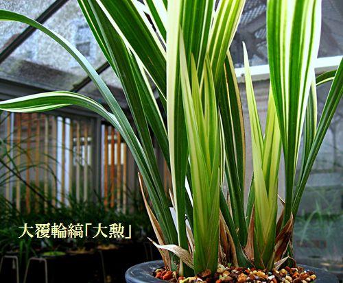 ◆恵蘭「大勲」                   No.108_d0103457_29250.jpg