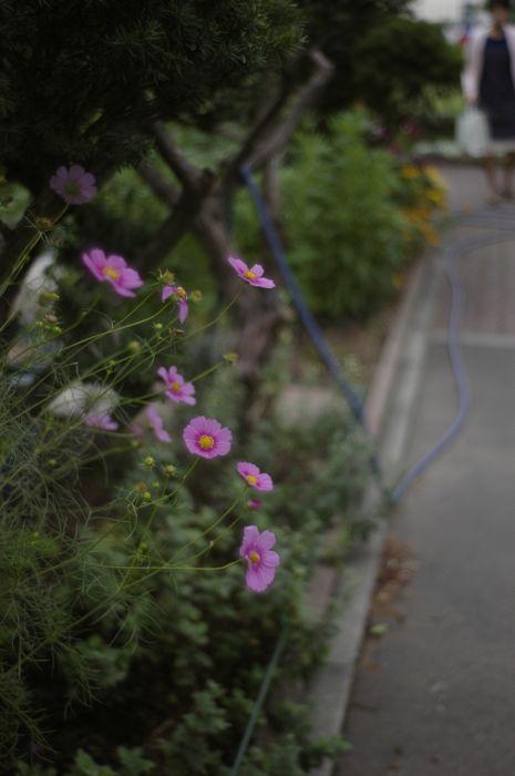 庭のコスモス_f0042194_132662.jpg
