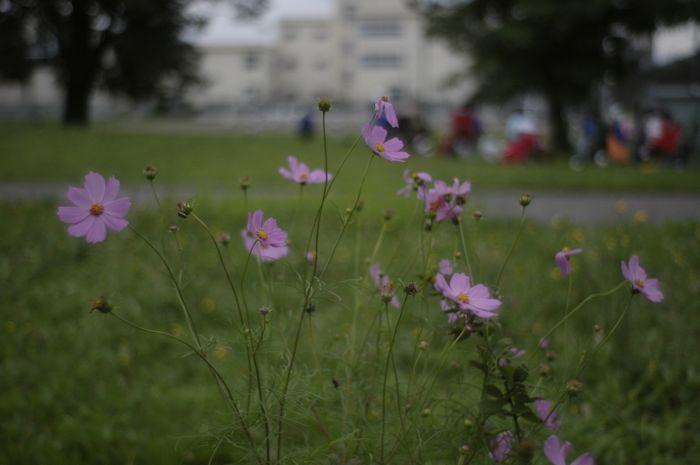 庭のコスモス_f0042194_13388.jpg