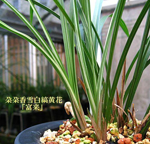 ◆中国蘭奥地蘭・朶朶香「富来」         No.110_d0103457_05717100.jpg