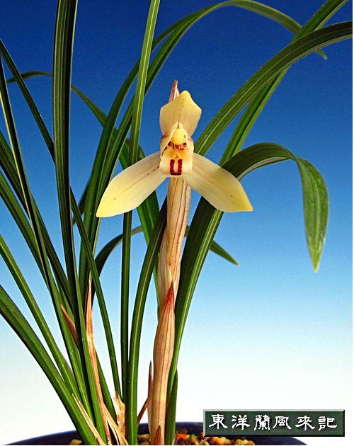 ◆中国奥地の蘭・朶朶香「富来」の花       No.111_d0103457_022293.jpg