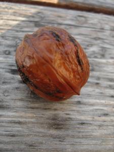 胡桃の季節です_f0106597_18131225.jpg