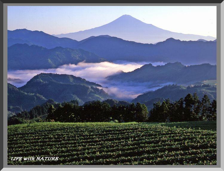山間の茶畑_b0093088_9163049.jpg
