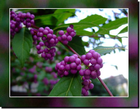 9月22日紫の実