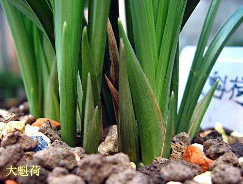 ◆中国春蘭「大魁荷」の花芽            No.113_d0103457_0451843.jpg