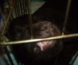 フラットの子犬 スライドショー♪_b0084194_2262939.jpg