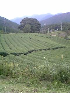 遠州のお茶畑_c0131063_16101974.jpg