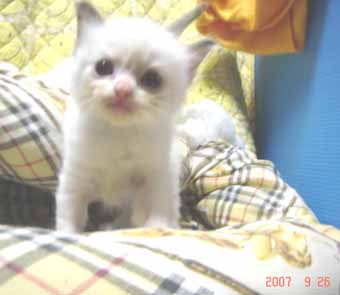 ラグドール子猫3週目バイカラー女の子_e0033609_0402493.jpg