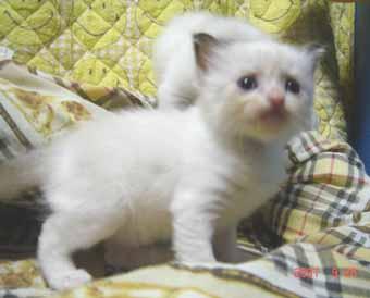 ラグドール子猫3週目バイカラー女の子_e0033609_0405191.jpg